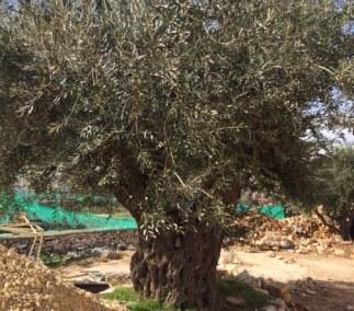 tantur tree