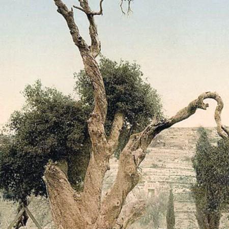 Le chêne de Mamré vers 1900